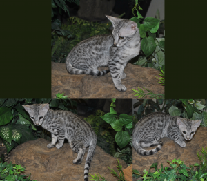Male F5 Savannah Kitten for Sale