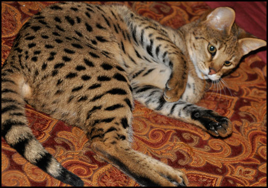 F1 Savannah Cats For Sale