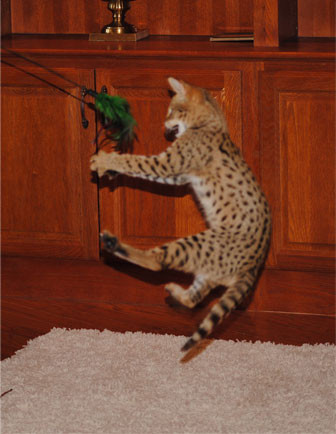 F1 Savannahs F2 Savannah Cats F3 Kittens F4 Cat Breeder Majestic Savannahs