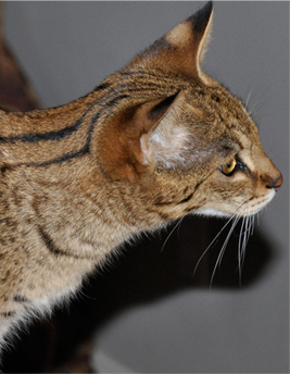 Pure Bred Savannah Cats from Majestic Savannahs