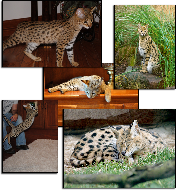 Pure Bred Savannah Kitten Breeders in Texas