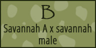 b savannah serval male