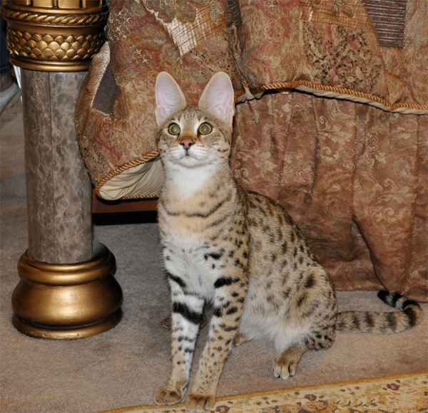 Savannah Kittens For Sale Near Houston Texas | Majestic