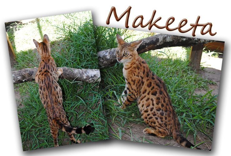 Female Savannah Cats