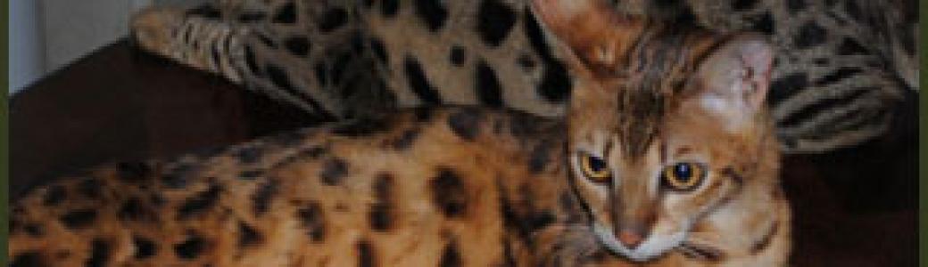 F1, F2, F3, F4, & F5 Savannah Cats for Sale - Kitten Breeders TX