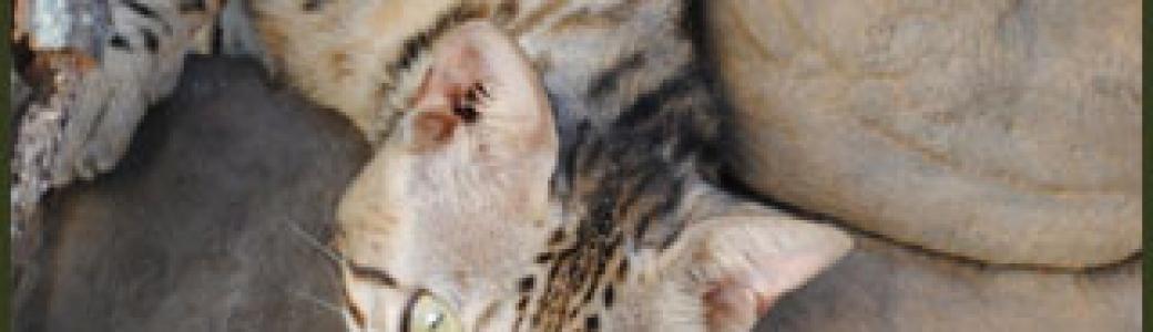 F1, F2, F3, F4, & F5 Savannah Cats for Sale - Kitten