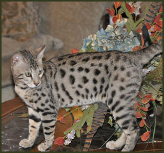 f1 f2 f3 f4 f5 savannah cats for sale kitten breeders tx majestic savannahs. Black Bedroom Furniture Sets. Home Design Ideas