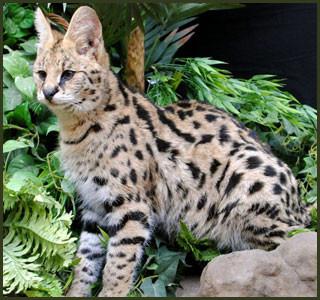 Savannah Cat Sale Texas