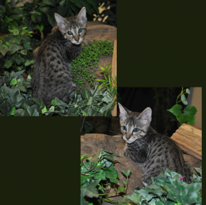 Male F3 Savannah Kitten for Sale